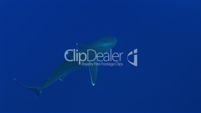 Silberspitzenhai (Carcharhinus albimarginatus)