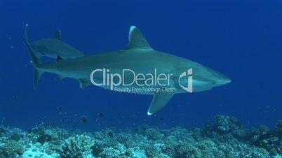 Silberspitzenhaie (Carcharhinus albimarginatus)