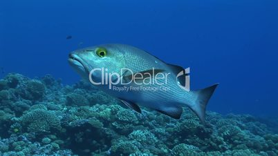 Lutjanus bohar, red snapper