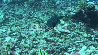 Perlhuhn-Kugelfisch (Arothron meleagris)