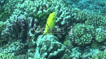Gelber Kugelfisch