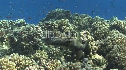 Kugelfisch, Porcupinefish ( Diodon nicthemerus)