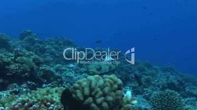 Porcupinefish (Diodon nicthemerus)