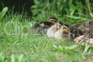 Stockentenkücken (Anas platyrhynchos) / Wild duck ducklings (Ana