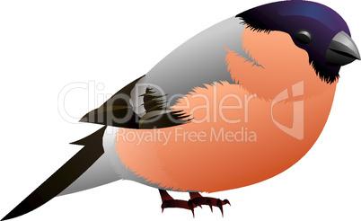 grey bird with orange breast