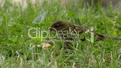 Sparrow in grass