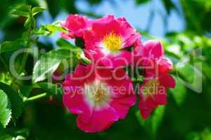 rose against the blue sky