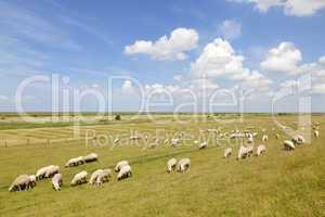 Schafherde in Ostfriesland