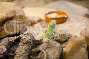 lizard in bowls with food