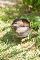 gray bird on a background of green grass