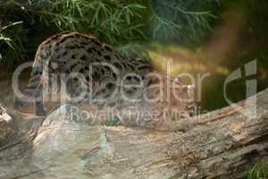 wild cat sitting on a tree