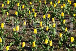 field of yellow tulips