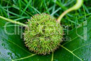 Chestnut with leaf on the grass