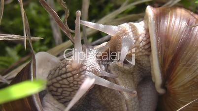 Weinbergschnecken - Paarung - Snail - pairing