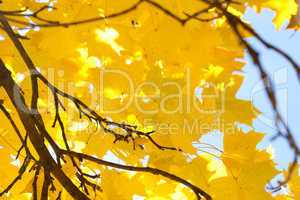 yellow autumn maple leaves against the blue sky