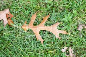 oak leaf on green grass