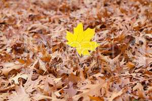 yellow maple leaf on a background of oak autumn leaves