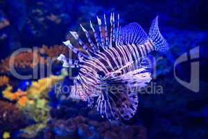 lion-fish underwater in tropical aquarium