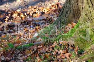 large tree roots in the moss in autumn forest