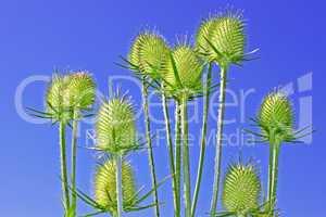 Teasel inflorescences