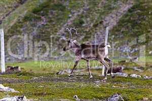 Reindeer graze on the tundra