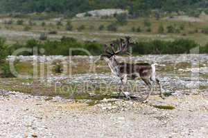 Reindeer running on the tundra