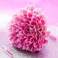 kleine Chrysantheme / small chrysanthemum