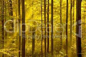 Goldener Herbstwald mit Sonnenstrahlen