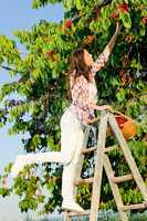 Cherry tree harvest summer woman climb ladder
