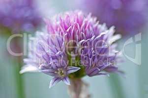 Schnittlauch Blüte