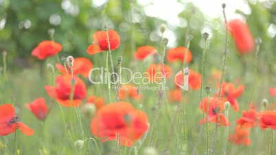 4 IN 1 EDIT Red poppies in various locations in daylight