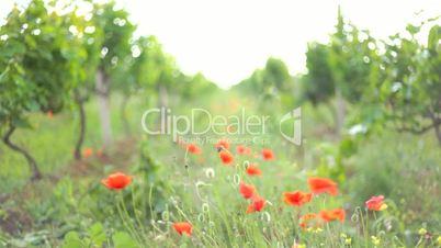 Wind rustling red poppies growing on the path between vineyard