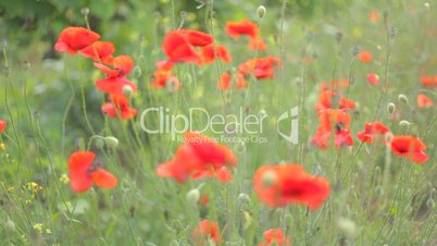 Wind playing with red poppies and wildflowers in green grass