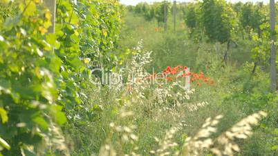Green young vineyards adjacent to wildflowers and red poppies