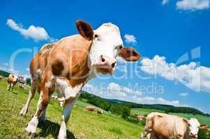 Brown Cow in Austrian Landscape