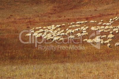 Sheep in grassland