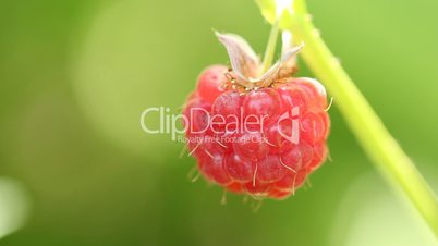 Closeup of red raspberry on green twig in breeze