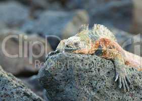 marine iguana on the rocks