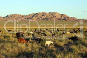 herd of goats in Mongolian prairie