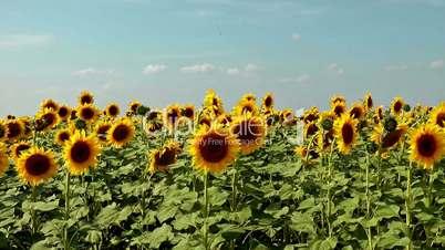 Field of windy sunflowers