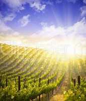 Beautiful Lush Grape Vineyard with Blue Sky and Sun