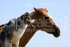 Australian Shepherd mit Pferd