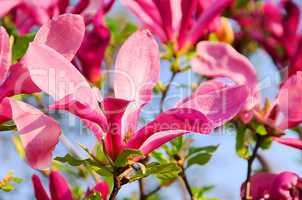 Magnolie - magnolia 15