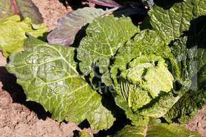 Wirsingkohl, Savoy cabbage