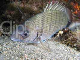 Sargo fish