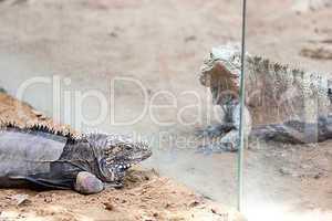 big lizard dragon at the zoo