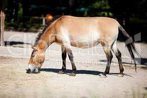 Przewalski's horse at the zoo