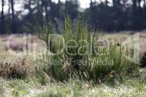 Heidekräuter - Erica - Spinnenweben