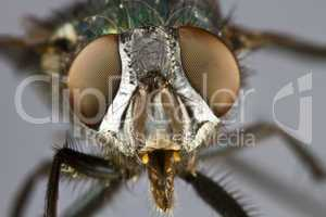 frontal shot of house fly