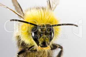 bumblebee in close up